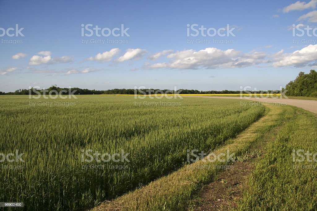 Wheat field along road royalty-free stock photo