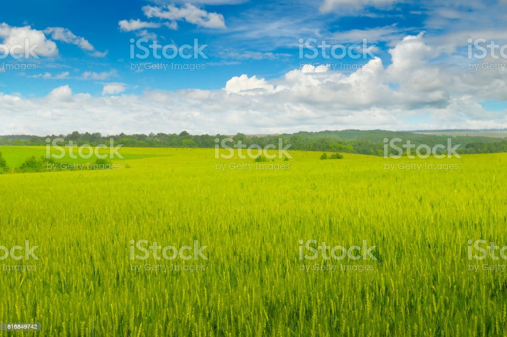 Wheat field and blue sky with light clouds stock photo