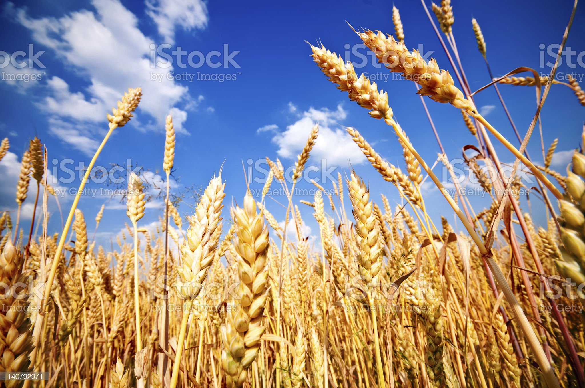 Wheat field and blue sky with white clouds royalty-free stock photo