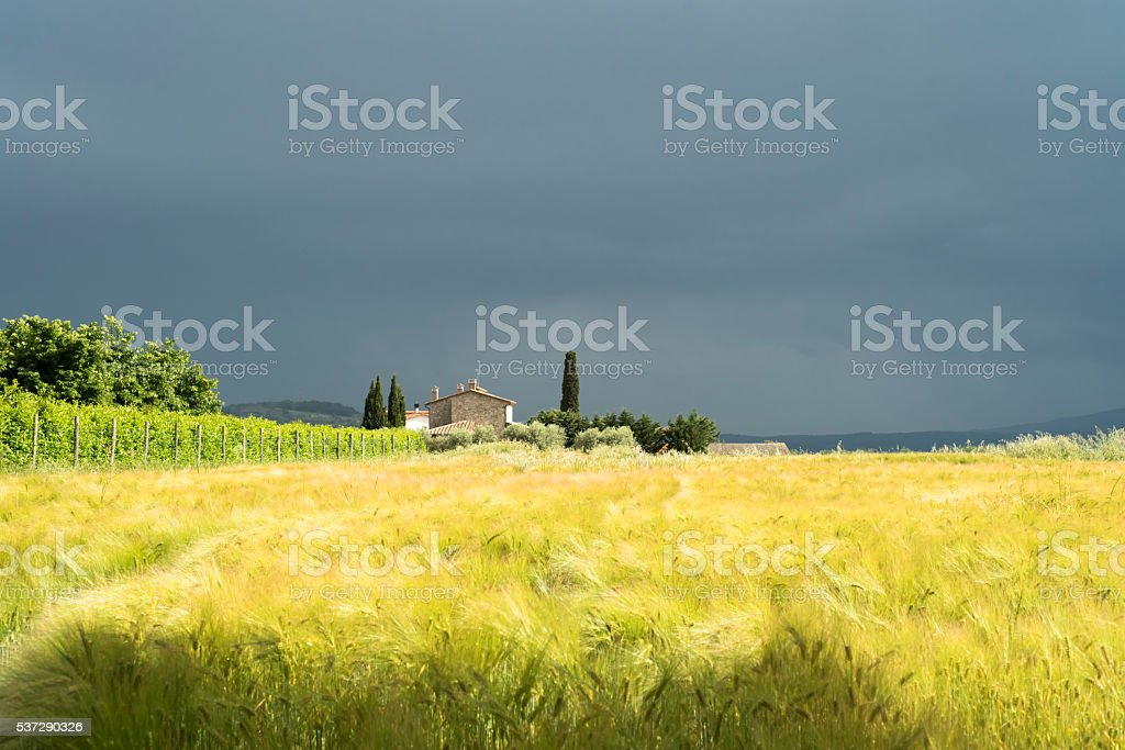 Wheat field and cloudy sky stock photo