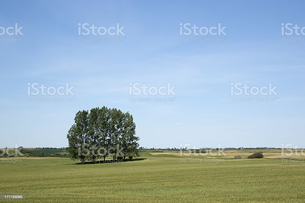 wheat field and cottonwood trees royalty-free stock photo
