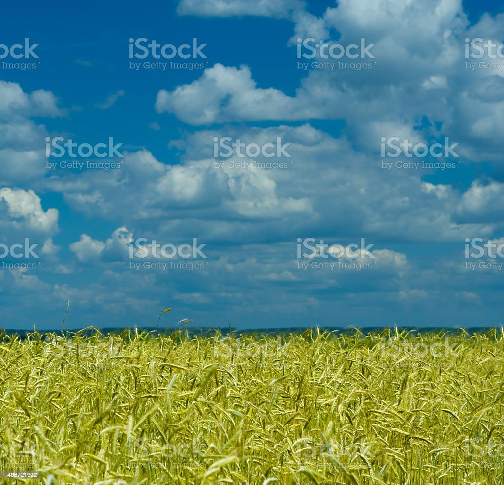 wheat field and dramatic sky stock photo