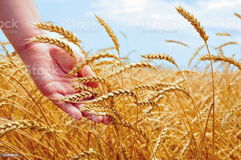 Wheat field and male hand holding cone in summer day stock photo