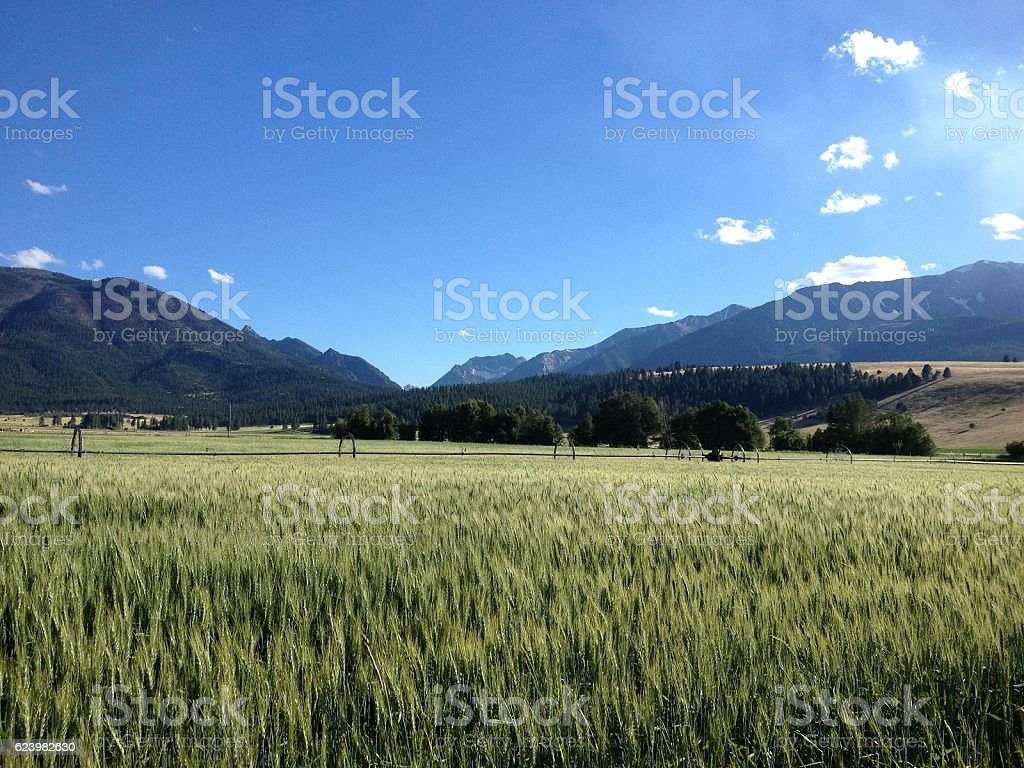 Wheat Field and Mountains stock photo