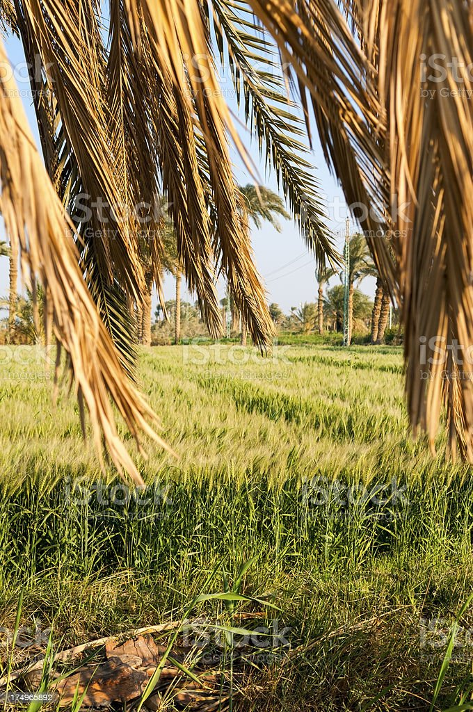 Wheat field and palm fronds in Egypt stock photo