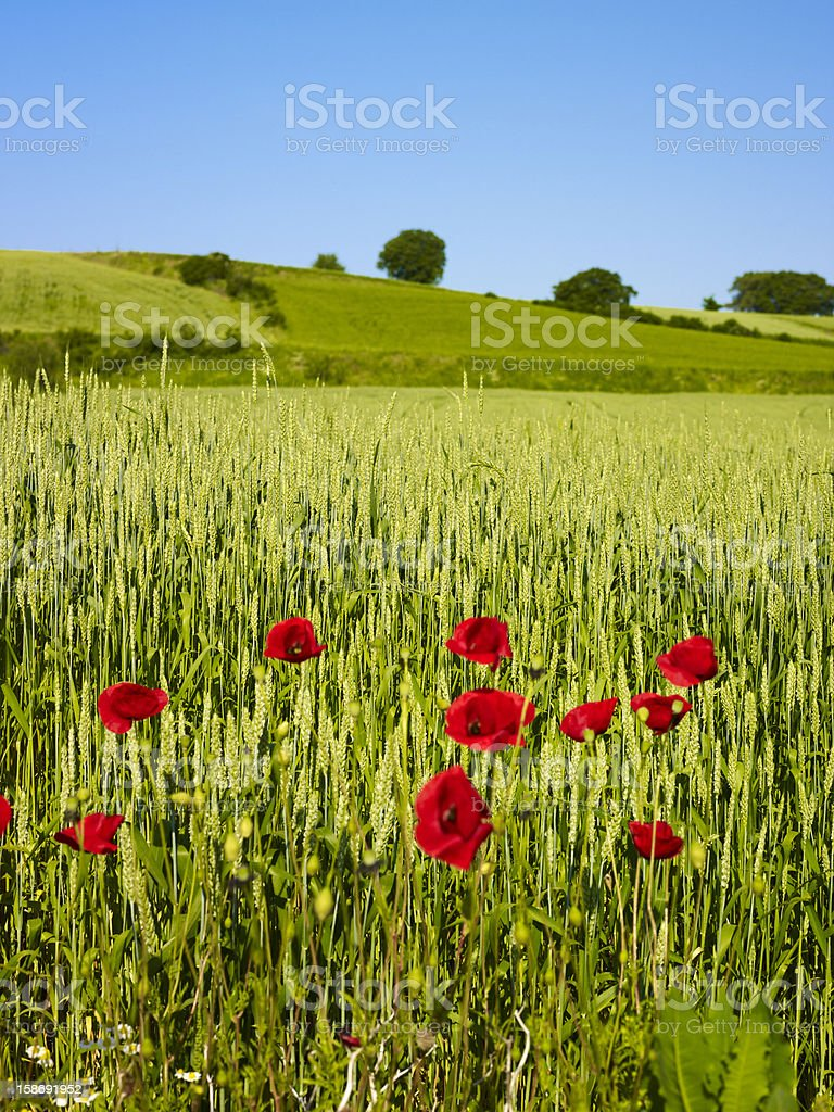 Wheat field and poppy flowers royalty-free stock photo