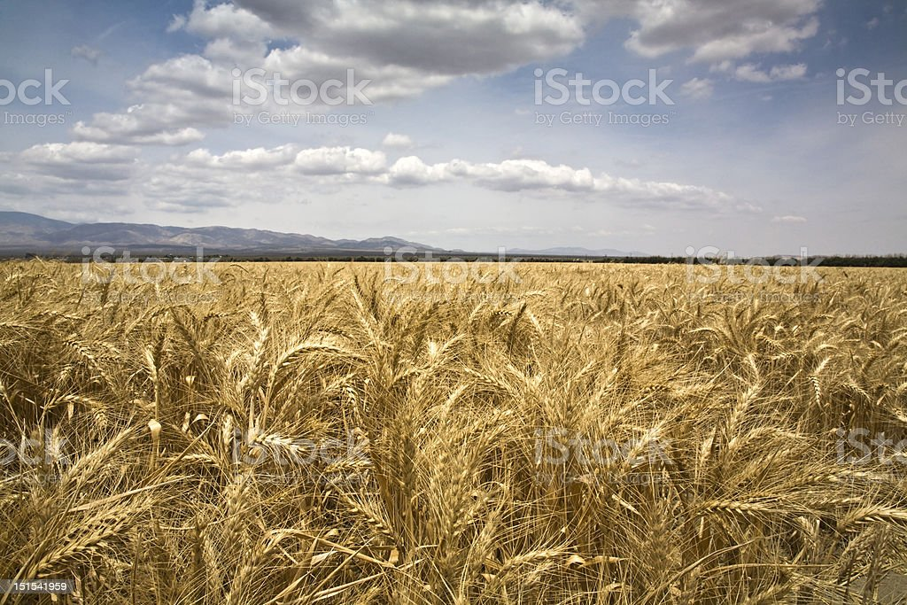 Wheat field and sky stock photo