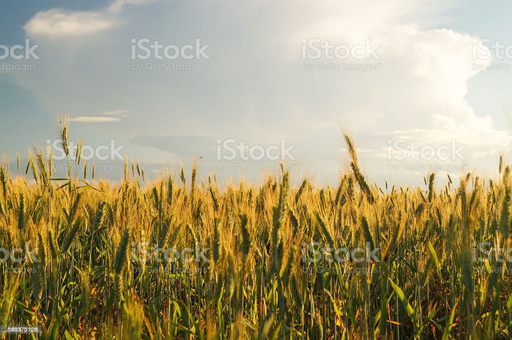 wheat field and sunny day stock photo