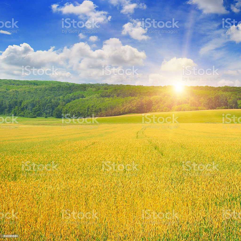 wheat field and sunrise in the blue sky stock photo