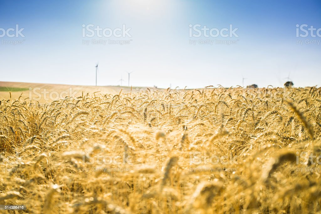 Wheat field and the blue sky. stock photo