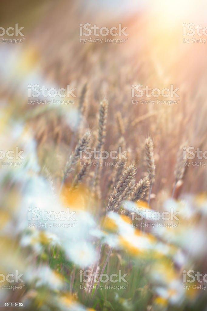 Wheat field and wild chamomile - daisy flower stock photo