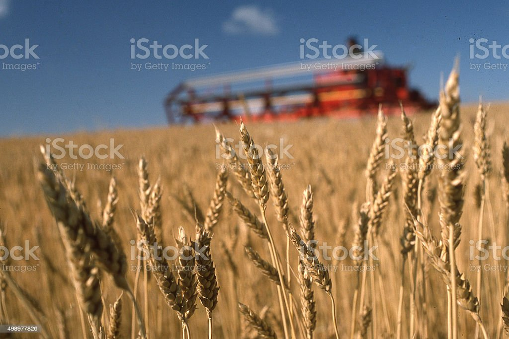 Wheat field at harvest and combine near Jamestown North Dakota stock photo
