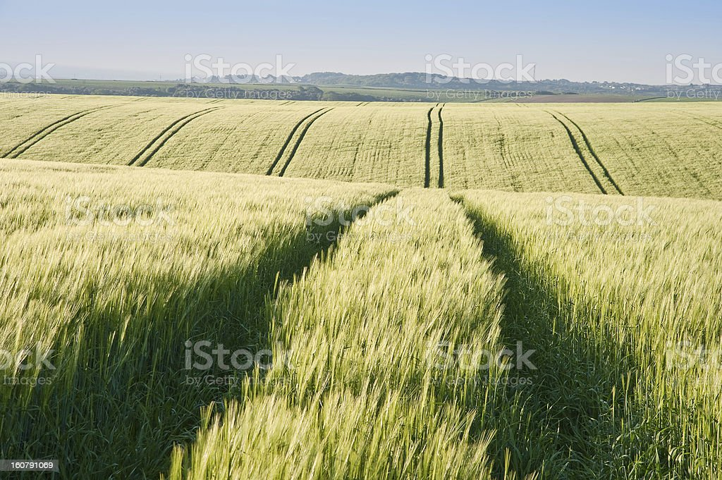 Wheat field at sunrise in English countryside landscape royalty-free stock photo