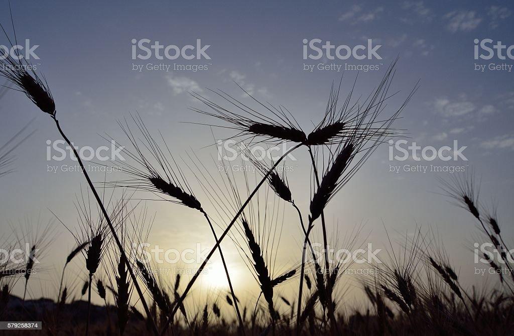 Wheat field at sunrise stock photo