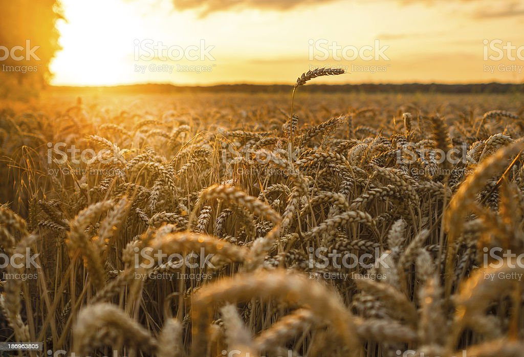 Wheat field at sunset royalty-free stock photo