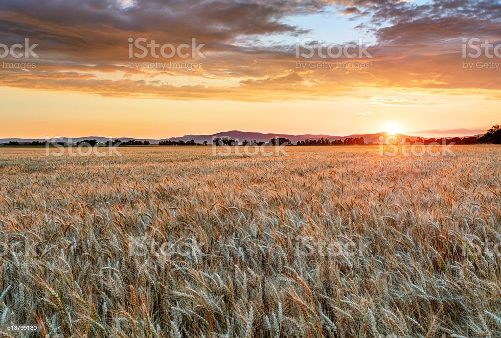 Wheat field at sunset stock photo