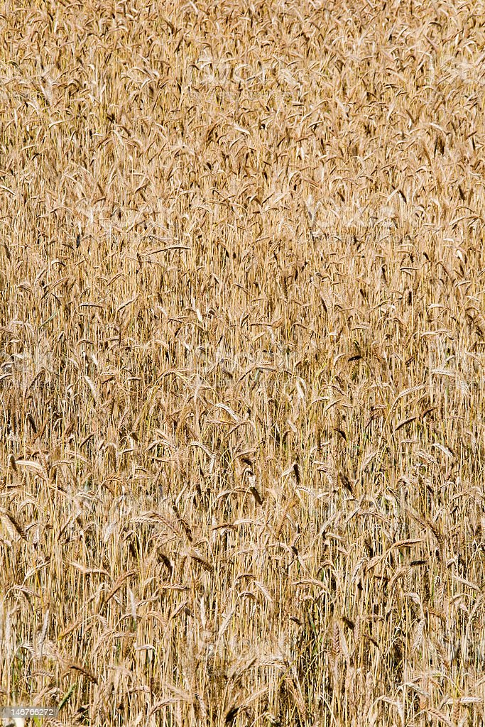 Wheat field background (rural landscape, vertical view) stock photo