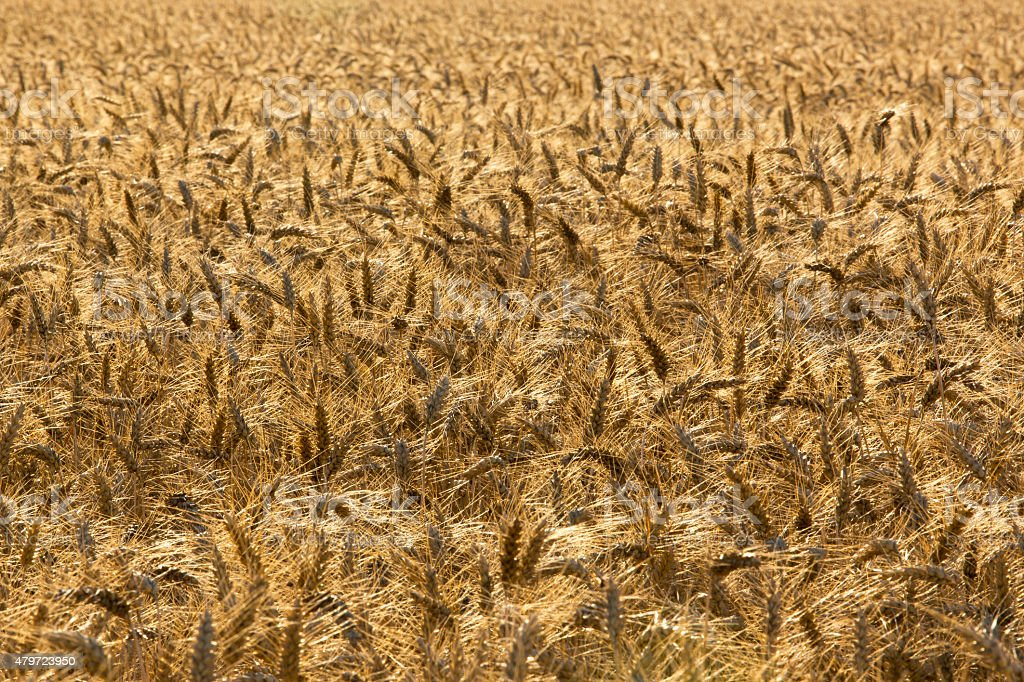 wheat field, background stock photo