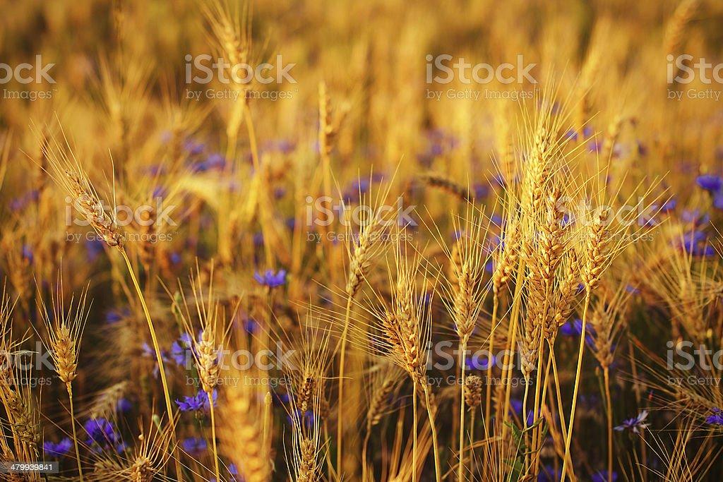 Fond de champ de blé photo libre de droits