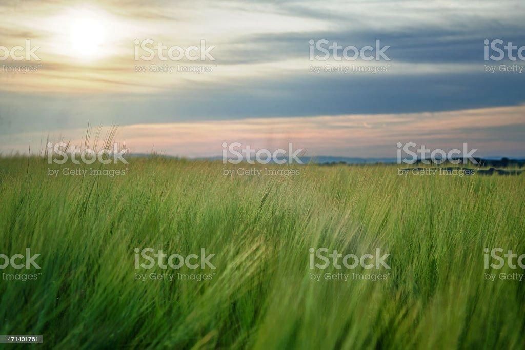 Wheat Field backlit royalty-free stock photo