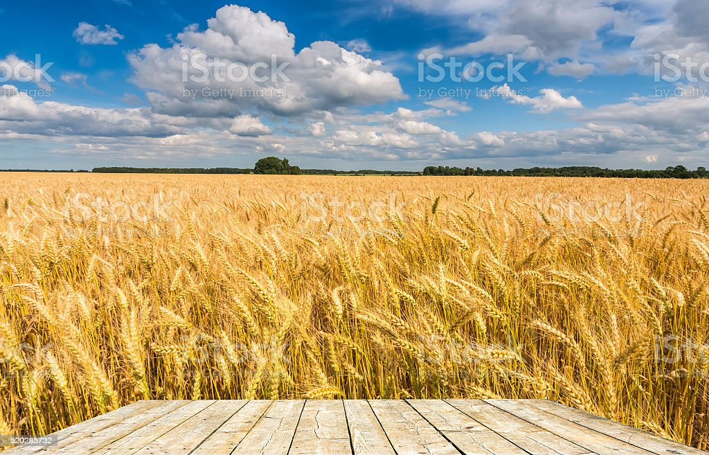 Wheat field by summer day stock photo