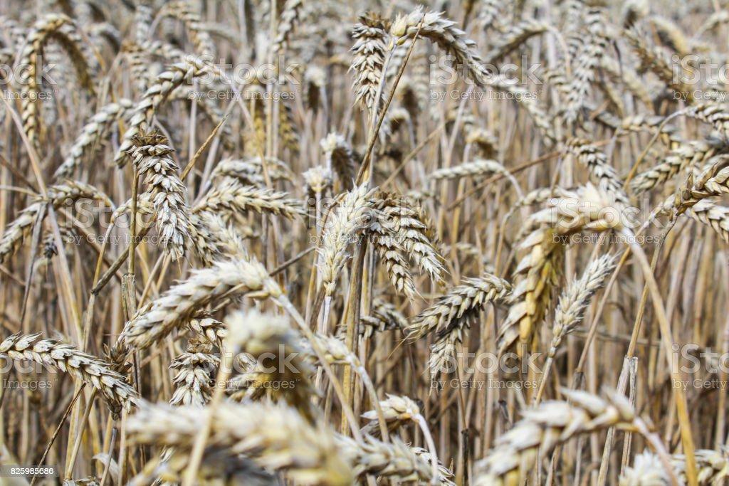 Wheat field close up phto to corn ear stock photo