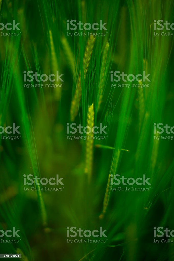 Wheat field, close up stock photo