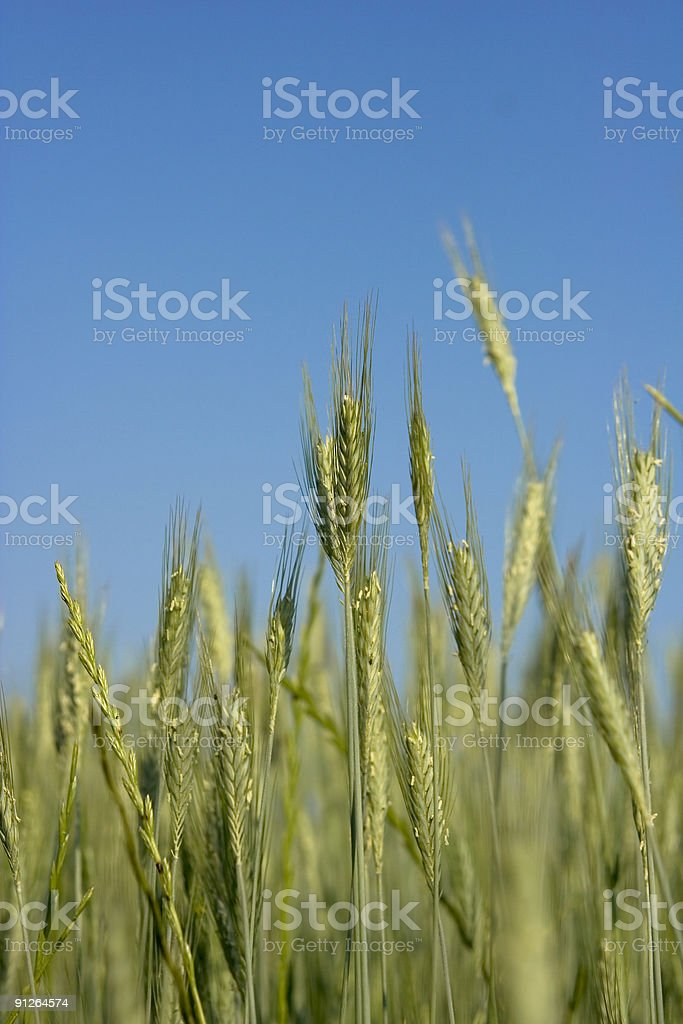 Wheat Field Closeup Against a Blue Sky stock photo