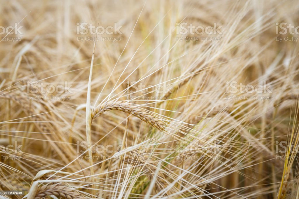 Wheat field. Ears of wheat close up. Background of ripening ears of meadow wheat field. Rich harvest concept. stock photo