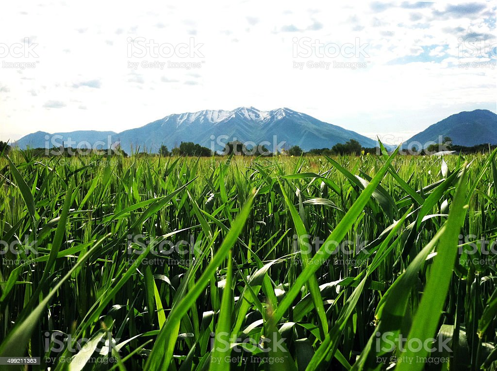 Wheat Field Growing Under The Mountain. stock photo