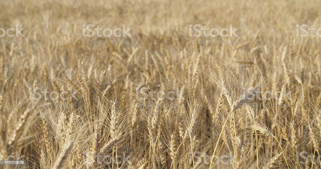 wheat field in august before harvest slow motion stock photo