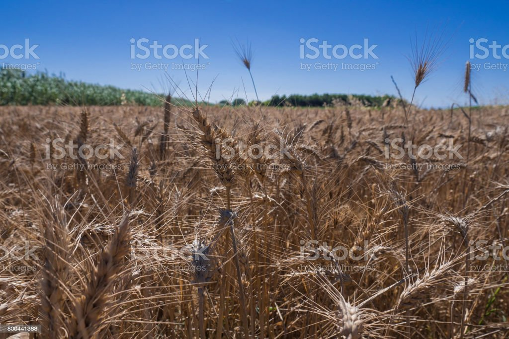 Wheat field in Catalonia stock photo