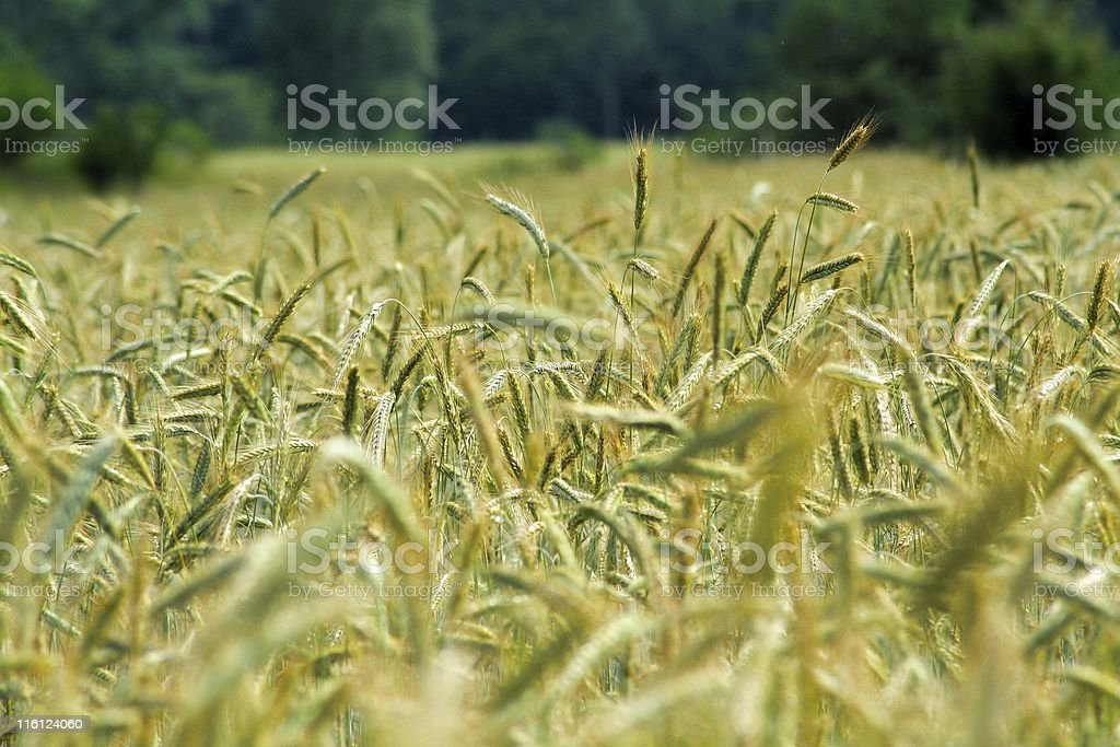 Wheat field in germany royalty-free stock photo