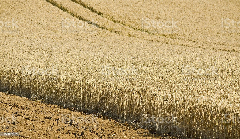 Wheat field in landscape. Nature Abstract royalty-free stock photo