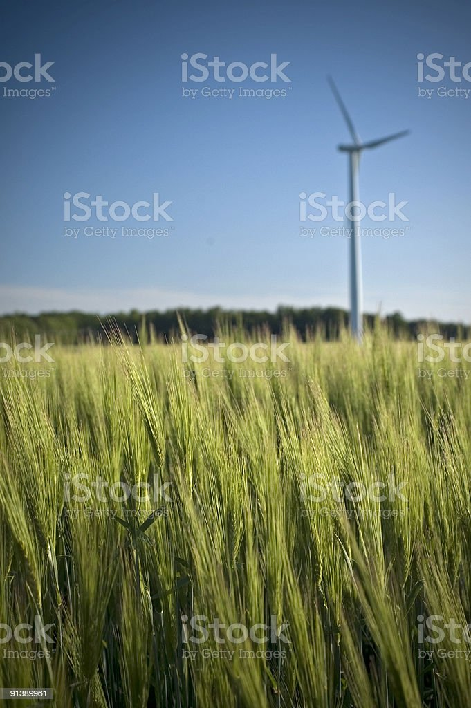 Wheat field in Ontario countryside stock photo
