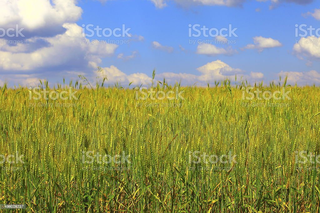 Wheat field in Rio Grande do Sul, Southern Brazil stock photo