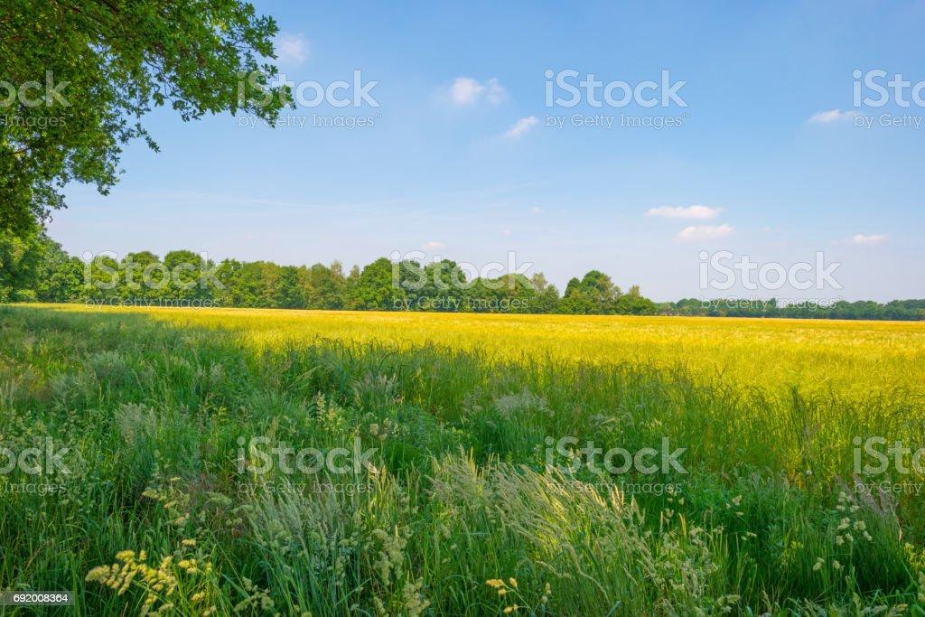 Wheat field in spring in sunlight stock photo