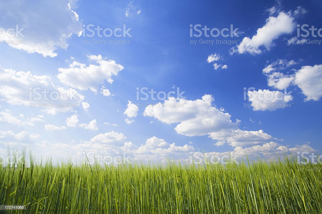 wheat field in spring royalty-free stock photo