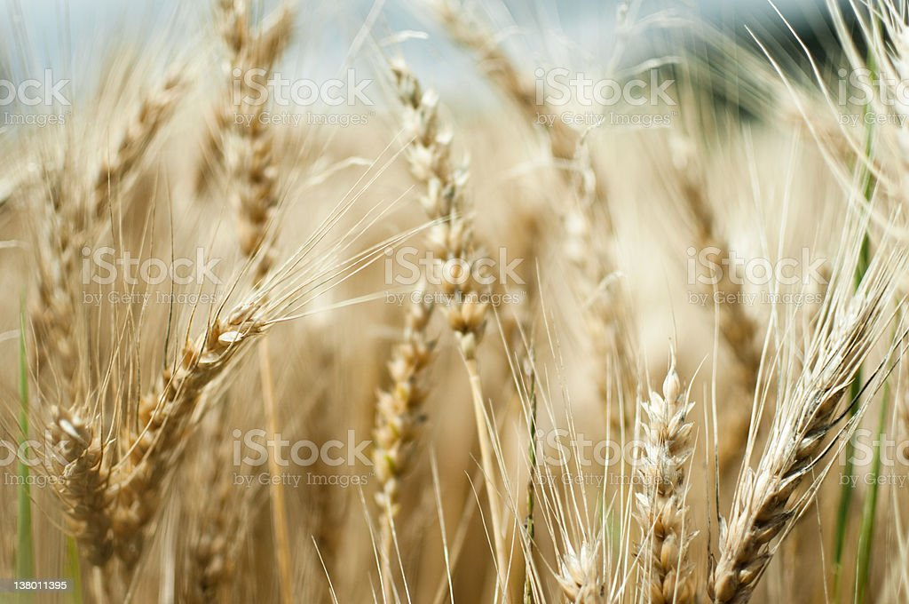 wheat field in summer royalty-free stock photo