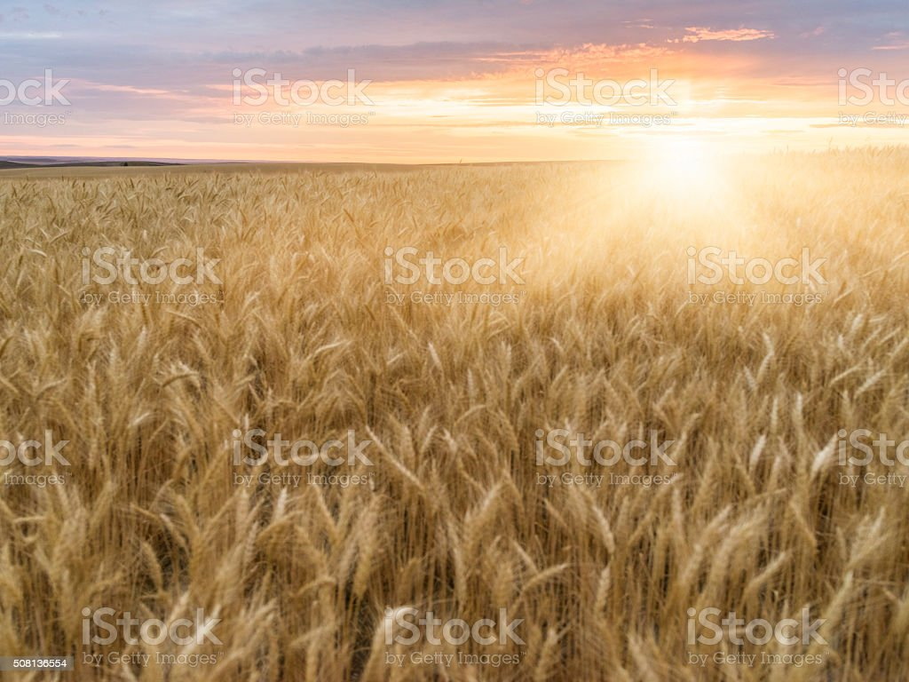wheat field in sunset, Palouse, WA, USA stock photo