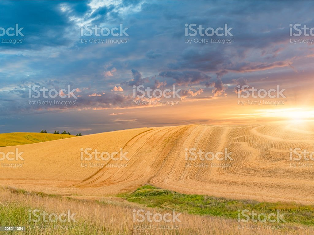 wheat field in sunset, Palouse, WA, USA stock photo