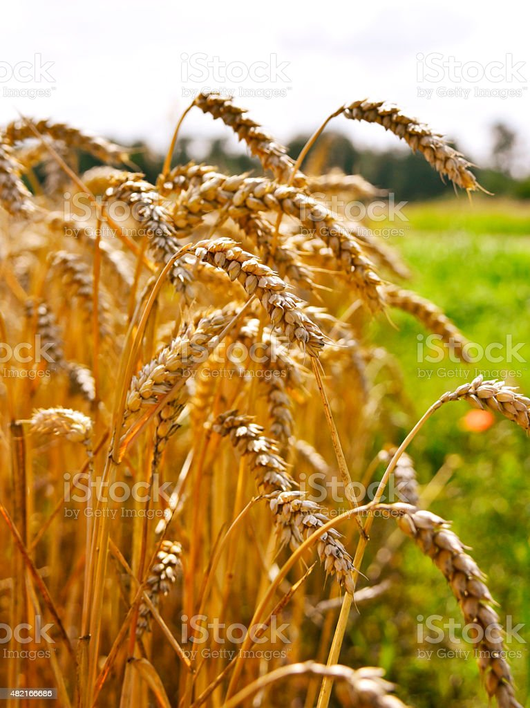 wheat field in the sunset stock photo