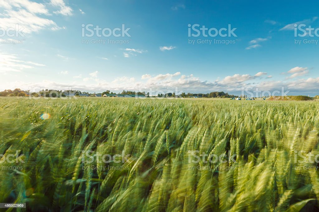 Wheat field in the wind royalty-free stock photo