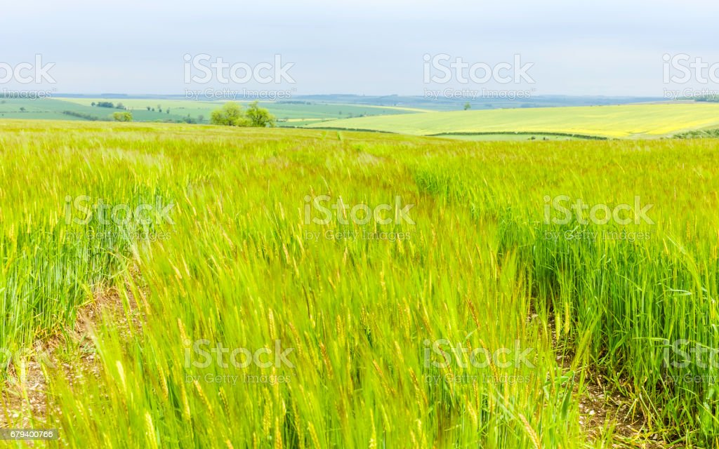 Wheat field in the Yorkshire Wolds in spring. stock photo