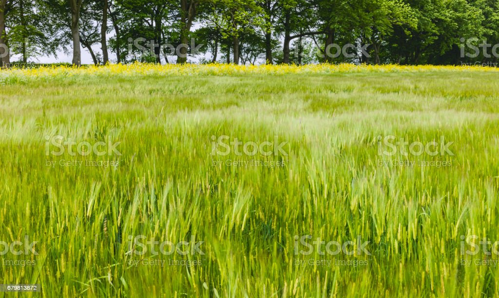 Wheat field in the Yorkshire Wolds in spring, Yorkshire, UK. stock photo