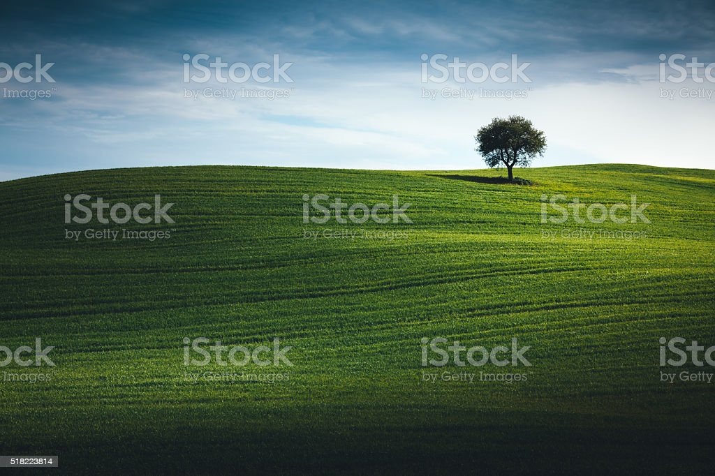 Wheat Field In Tuscany With Lonely Tree stock photo