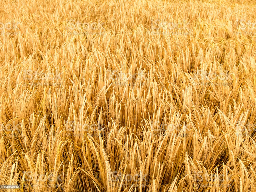 Wheat field in wind stock photo
