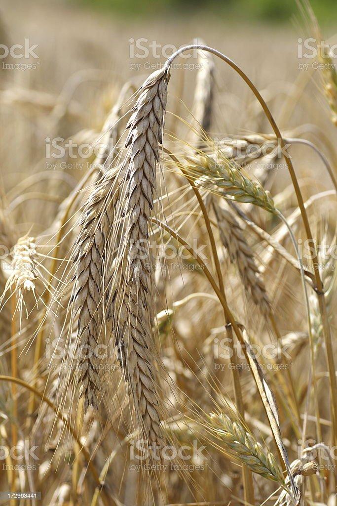 Wheat field macro royalty-free stock photo
