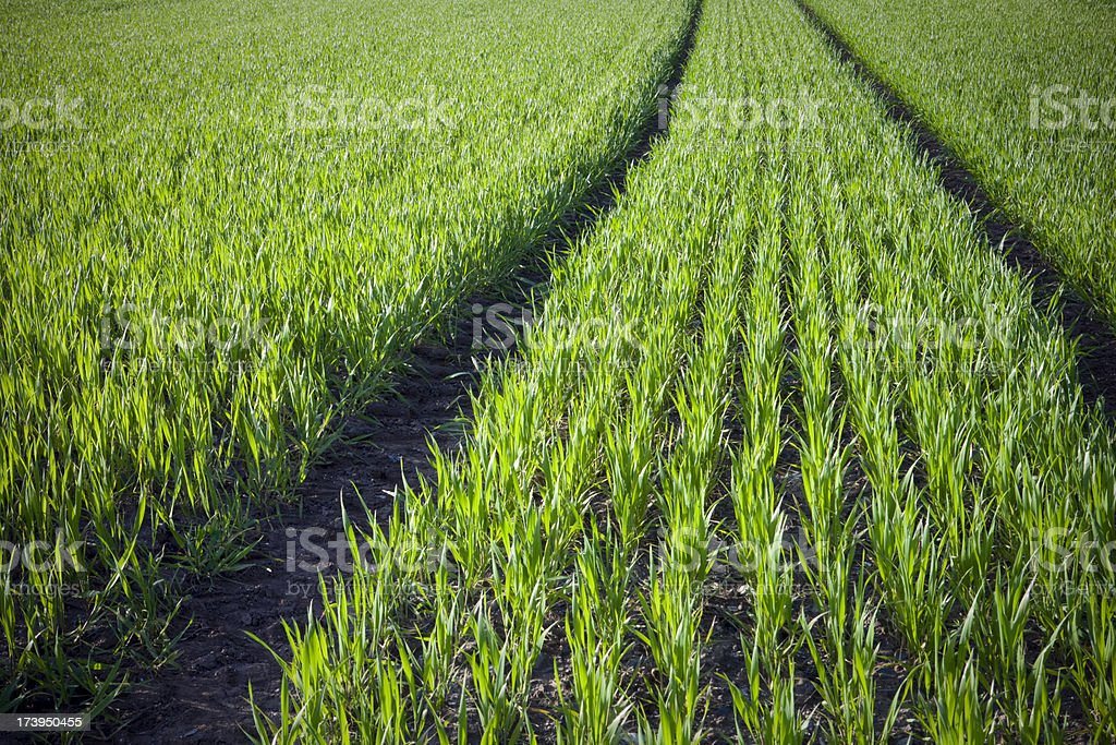Wheat field nature background royalty-free stock photo