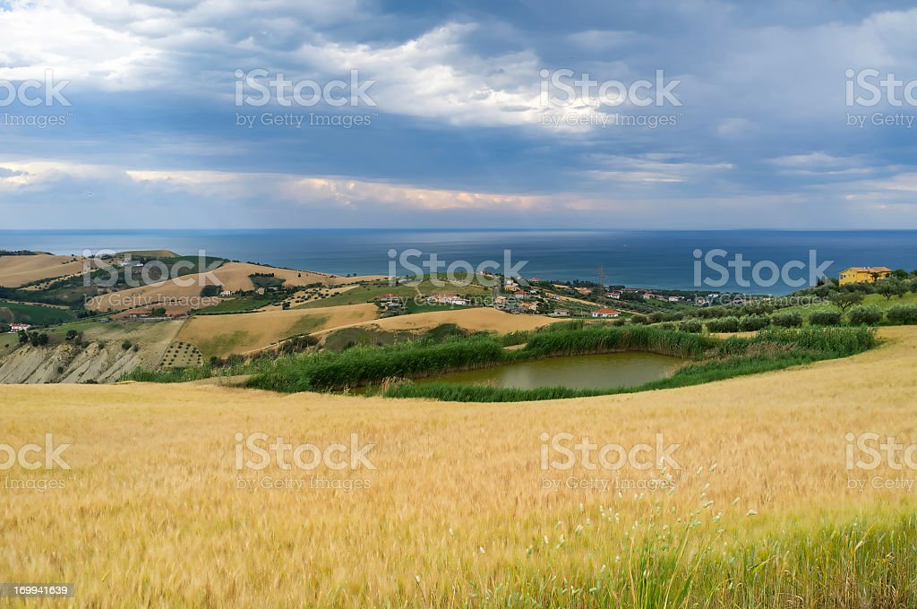 Wheat field near sea stock photo